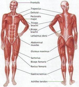 muscle worksheet - rringband, Muscles